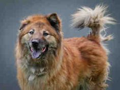 RICKY is an adoptable Chow Chow Dog in Los Angeles, CA. 12/08/12 460 Adult older large breed. No super friendly. No further IPs or Networking memos allowed....