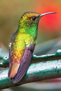 As beautiful as a rainbow. God sure wasn't creating boring birds when he got to the hummingbird! Pretty Birds, Love Birds, Beautiful Birds, Animals Beautiful, Cute Animals, Exotic Birds, Colorful Birds, Photo Animaliere, Little Birds