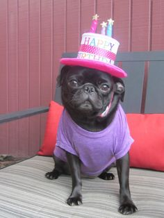 Happy Birthday Black Pug *** Click image for more details about playing with pet dogs.