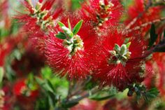 Callistemon Hannah Ray x C.citrinus Endeavour The People's Saint. 1 x Saint Mary MacKillop Callistemon plant. A donation from each sale of this plant will be paid to the Mary MacKilliop Foundation Ltd to support its small life changing projects. Bottlebrush Plant, Red Flowers, Beautiful Flowers, Garden Express, Australian Wildflowers, Native Australians, Australian Garden, Home Garden Plants, How To Attract Birds