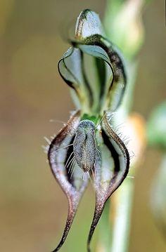 Resultado de imagem para Orquídea Pterostylis