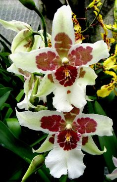 Beallara Tahoma Glacier - large flowered, scented orchid