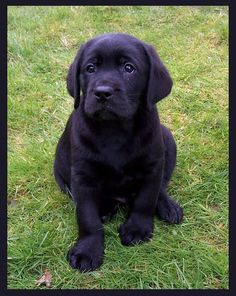 my black Labrador Retriever puppy