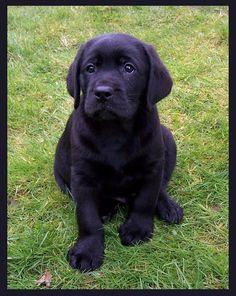 my black Labrador Retriever puppy