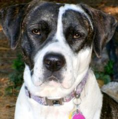 ANNIE(LOVES HER FAMILY--SMART-GORGEOUS-A 'CUDDLER!!' is an adoptable Boxer Dog in Newington, CT. ANNIE***CONTACT SHELLY mailto:lovedogs.r... GORGEOUS---SOOOO SMART'***ANNIE'S S...