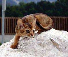 Abyssinian Cat Breeders With Play Outdoors Abyssinian Cat Breeders Cats