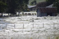 In 2012, severe floods in the southern NSW town of Wagga Wagga forced thousands of spiders to use ballooning to float to higher grounds