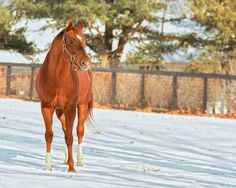 Secretariat in the snow.  One of the most gorgeous photos I've ever seen of Big Red.