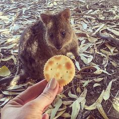 Cutest little smash ball in the world! Only found on rottnest island! Definitely worth the trip to play with these little fattys!!! . #rottnestisland #quokkacentral #rottnestexpress #crew #crewlife #Australia #Perth #WA #quokka #quokkalove #quokkies #cracker by lipstick_carts_and_cocktails http://ift.tt/1L5GqLp