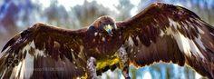 Golden Eagle -  Freya by Greenacre7