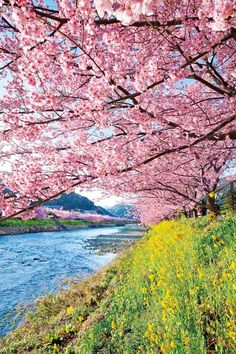 Crusing Down The River On A Sunday Afternoon - Kawazu, Shizuoka, Japan Beautiful Places In Japan, Beautiful World, Cherry Blossom Japan, Cherry Blossoms, Art Asiatique, Blossom Trees, Cherry Tree, Flowering Trees, Photos Du