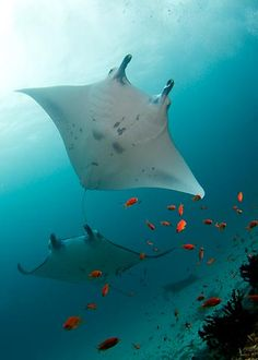Manta rays cruising for plankton during the days.  These massive marine creatures can be seen during the daytime, but can also be found at night off a dive site near the Kona airport.