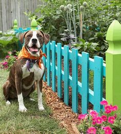 COLORFUL PICKET FENCES, especially around a veggie/fruit garden, make a fun statement!  Such a cute dog too!