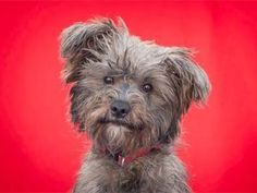 BUBBA is an adoptable Schnauzer Dog in Pasadena, CA. BUBBA:  For more information on Bubba please email GableCarr@gmail.com  ABOUT Bubba: Bubba is a sweet cuddly 2 year old 15 pound neutered M...