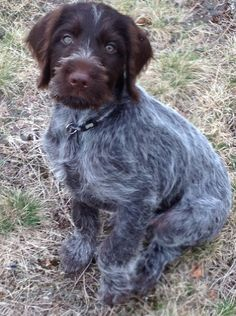 Darby~ Wirehaired Pointing Griffon Pup ~ Classic Look