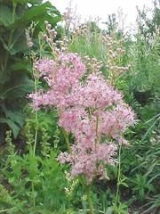 Queen of the Prairie (Filipendula venust) puts out a short-lived puff of dainty flow. Shade Garden, Garden Plants, Flowering Plants, Tall Plants, Big Flowers, Beautiful Flowers, Blooming Flowers, Missouri Botanical Garden, Moon Garden