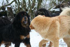 Fight the Dog . Tibetan Mastiff, Dogs, Animals, Animales, Animaux, Pet Dogs, Doggies, Animal, Animais