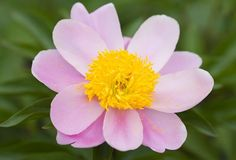 Indianapolis State Flower | Peony - Indiana's state flower