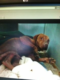 """Paralyzed in terror, a dog named """"Challenger,"""" is in desperate need of rescue in Greenville County, S.C.  The terrified dog, turned in to the shelter facility by his owners, was so petrified that he would not walk - undeterred, his owners dragged him into the building.  some people are such aholes."""
