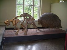 """Glyptodon — """"a relative of armadillos that lived during the Pleistocene epoch. It was roughly the same size and weight as a Volkswagen Beetle ..."""""""
