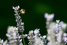 World photo/Don Seabrook:   A bee hovers over lavender at a Wenatchee home last summer. Taking precautions when applying pesticides will help maintain local bee populations.