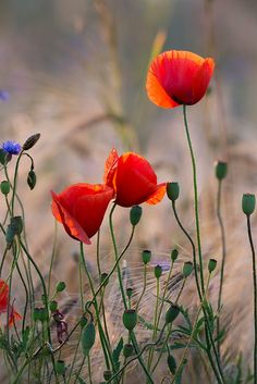 beauty-rendezvous: Poppies by Taras Lesiv, Wonderful Flowers, Wild Flowers, Beautiful Flowers, Blossom Flower, Flower Art, Poppy Photography, Red Poppies, Watercolor Poppies, Flower Photos