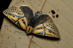 NMW: Some Costa Rican Moths | the pace of nature