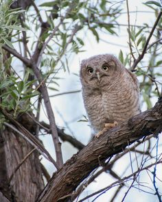 Young Western Screech Owl in California
