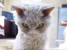 angry cat threatening furious