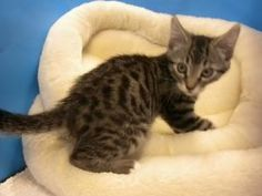 Waffle is an adoptable Bengal Cat in Gainesville, FL.  The best way to contact us is through email, Star32601@aol.com. We showcase our kitties at Petsmart, Ocala and at times Petsmart, Gainesville. Ou...