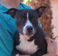 Sparrow is a very affectionate junior puppy who enjoys cuddling and feeling reassured that she is wanted and welcome.  She is a mini Bully mix, just 7 months of age, a spayed girl, debuting for adoption today at Nevada SPCA (www.nevadaspca.org).  Sparrow was at another shelter and needed our help.  Please be sure to have plenty of quality time for her daily.