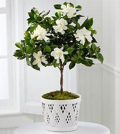 Die FTD Blooming Tranquility Gardenia-Pflanze von Better Homes and Gardens Gardina Flowers, Planting Flowers, Send Flowers, Flower Bouquets, White Flowers, Pink Roses, Wedding Flowers, Diy Garden, Summer Garden