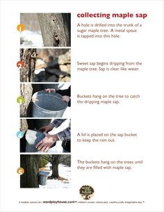 How to Collect Maple Sap by wordplayhouse: It's a lot of work to make maple syrup (40 gallons of sap makes 1 gallon of syrup) but it's fun and fascinating to learn about it.  #Maple_Sugaring #Maple_Sap