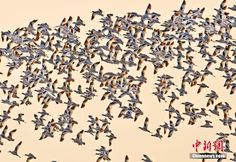 A flock of pied avocets take flight during a golden sunset at the Dongting Lake in Hunan Province.