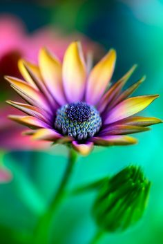 African Daisy from: http://www.pinterest.com/rindymae/plants-i-love-or-want-to-try-growing/