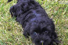 Yorkiepoo - Yorkie Poo puppy for sale near Columbus, Ohio | b2f652f0-bf71