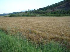 Camp de blat a Batet, La Garrotxa
