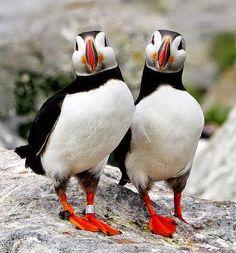Twee parmantige papegaaiduikers.