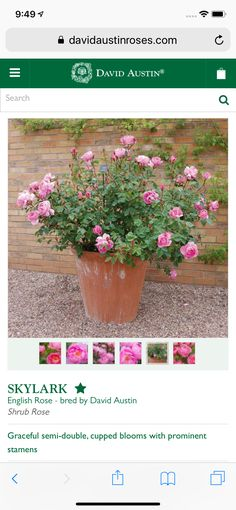 Shrub Roses, David Austin, English Roses, Shrubs, Bloom, Plants, Shrub, Plant, Planets