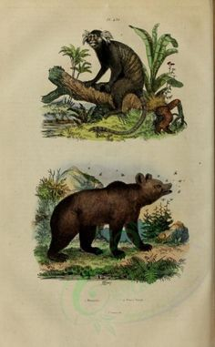 Marmoset, Brown Bear - high resolution image from old book. Old Book Pages, Art Clipart, Flora And Fauna, Picture Collection, Scrapbook Paper Crafts, Botanical Art, Science And Nature, Brown Bear, Wall Collage