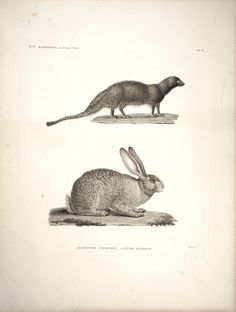 Mongoose and Hare. Description de l'Égypte Histoire naturelle, Plates Paris,Imprimerie impériale,1809-28. Biodiversitylibrary. Biodivlibrary. BHL. Biodiversity Heritage Library