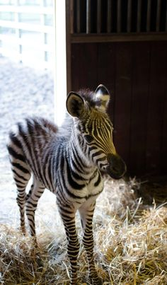 I work at a zoo. Have a 2-day-old zebra. - Imgur