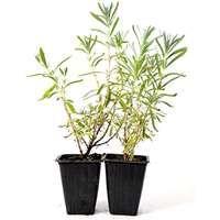 Fragrant Flowers & Shrubs: Indoor & Outdoor Blooming Plants