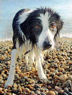 Border collie ....now that's a border collie!