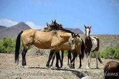 Band of Nevada wild horses.