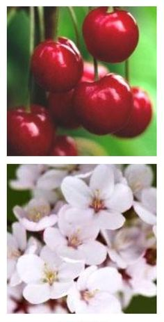 Stella cherry tree Cherry Tree, Fruit Trees, Cherries, Gardening, Vegetables, Flowers, Maraschino Cherries, Cherry Fruit, Garten