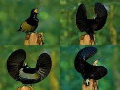 Resultado de imagen para ave del paraiso