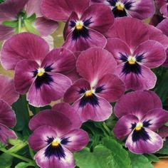 Raspberry Violas £3.45