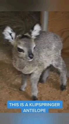Cute Wild Animals, Baby Animals Pictures, Cute Animal Videos, Rare Animals, Cute Little Animals, Cute Animal Pictures, Cute Funny Animals, Animals Beautiful, Animals And Pets