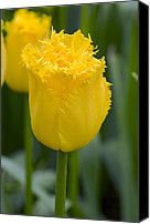 Tulip (tulipa 'hamilton') Photograph by Adrian Thomas - Tulip (tulipa 'hamilton') Fine Art Prints and Posters for Sale
